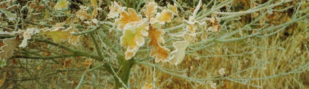 frost on oak leaves
