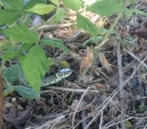 Grass snake among twigs