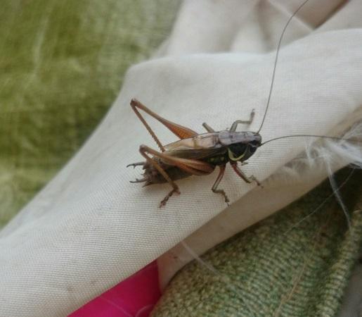Cricket on cloth