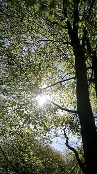 sun shining through aspen leaves