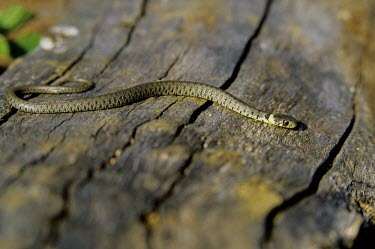 grass snakes love sleeping under logs